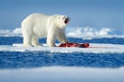Polar bear on the ice. Surfacing dangerous polar bear in ice with seal carcass. Wildlife action scene from Arctic nature. Bloody scene with red blood skeleton of seal.