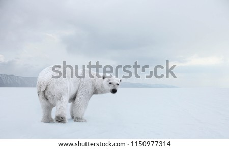 Polar bear on the pack ice.