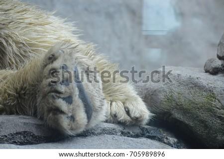 Polar Bear Paw #705989896