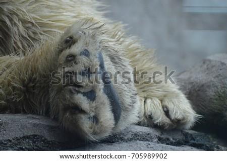 Polar Bear Paw #705989902