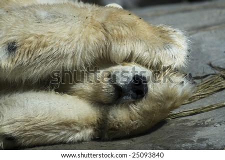 Polar Bear Peek-A-Boo - stock photo