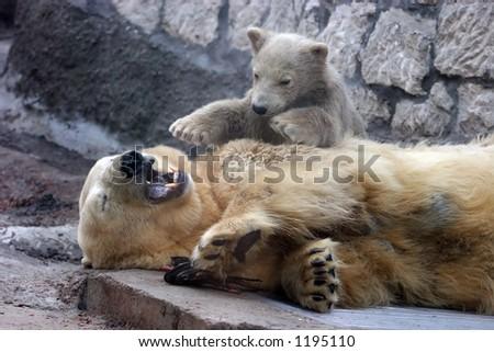 Polar bear play with bear-cub