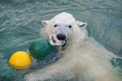Polar bear plays in the water