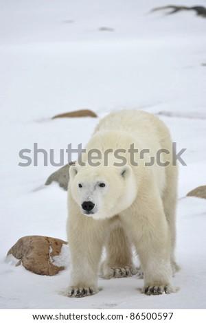 Polar Bear Portrait with stones on the snow.