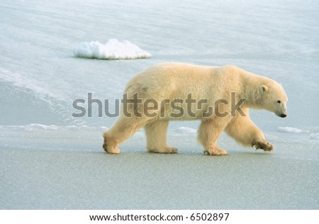 polar bear roams ice pack near churchill canada