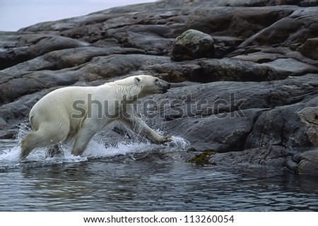 Polar bear running from sea.Wager Bay,Canadian Arctic