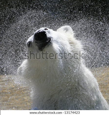 Polar Bear shaking water off after a cool bath