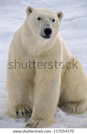 Polar bear sitting on tundra,Photographed in the Canadian Arctic.