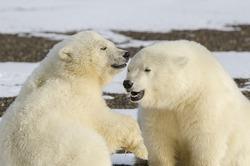 Polar bear smiling