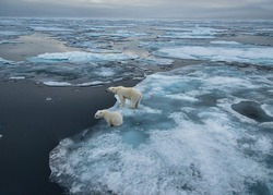 polar bear sow and cub on ice floe in norwegian arctic waters, wide angle view to horizon