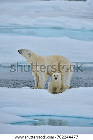polar bear sow and cub pose on ice floe in norwegian arctic waters #702244477