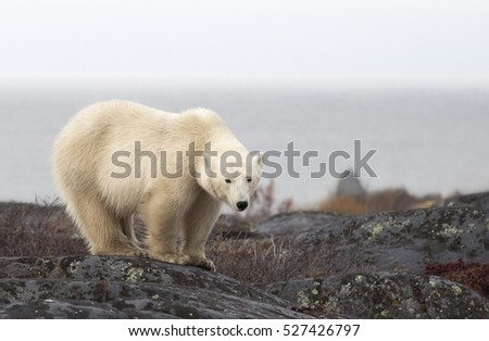 Polar bear sow, close up, standing on a boulder.  Autumn in Churchill, Manitoba, Canada.