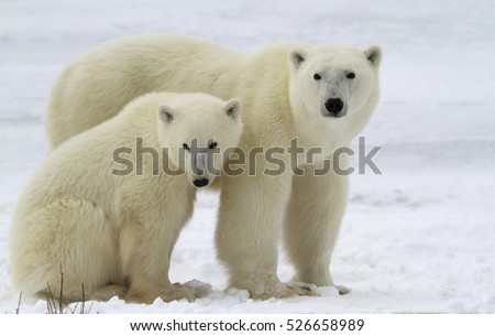 Polar bear sow with her cub on the frozen tundra.  Churchill, Manitoba, Canada #526658989
