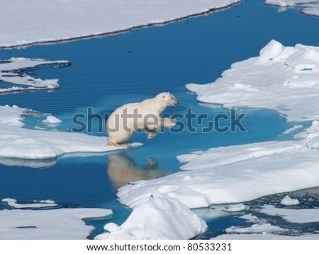 Polar Bear Spitsbergen