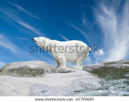Polar bear stand on the rocks near the pond
