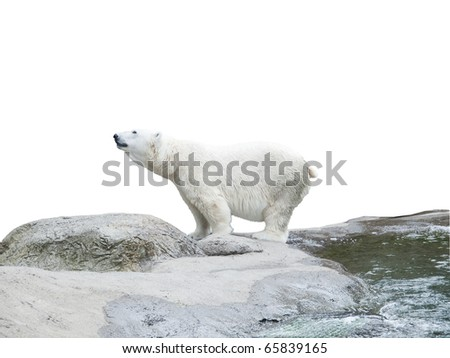 Polar bear stand on the rocks near the pond, isolated over white