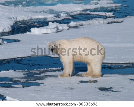 Polar Bear standing on sea ice