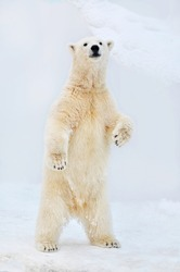 Polar bear stands on its hind legs.