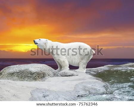 Polar bear stands on the rocks near the pond against dramatic sunset