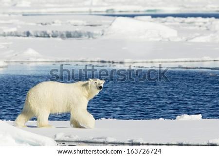 Polar Bear Svalbard Islands Norway