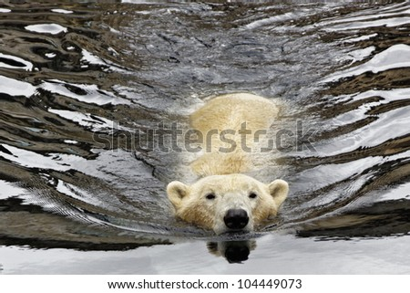 Polar Bear swim in the water