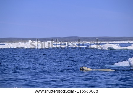 Polar bear swimming between ice floes. Wager Bay Canadian Arctic - stock photo