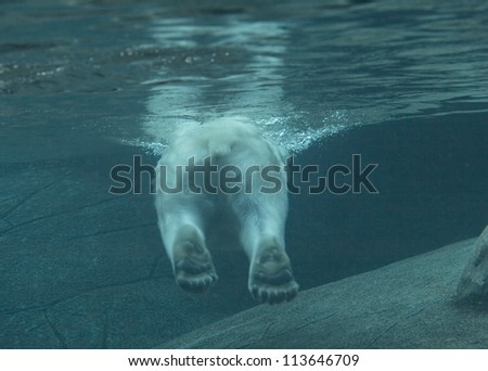 Polar bear swimming in a zoo pool