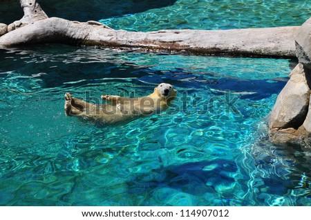 Polar bear swimming in blue water (Ursus maritimus). Polar bear looking at the camera