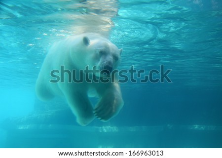 Stock Photo Polar bear swimming under water