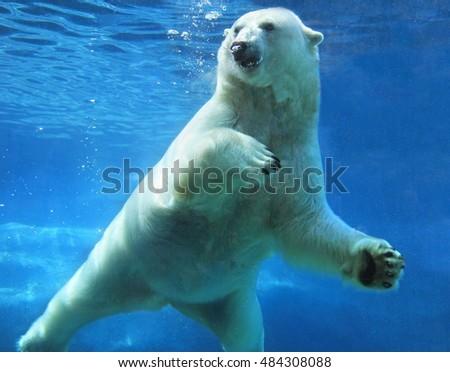 Polar bear swimming underwater #484308088