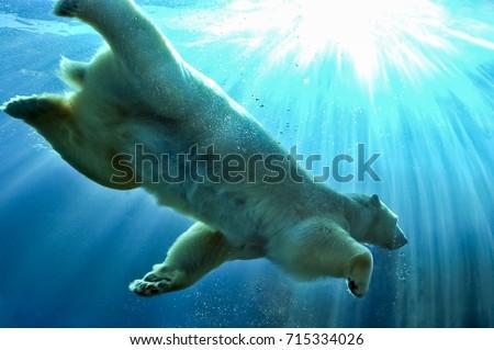 Stock Photo Polar Bear swimming underwater