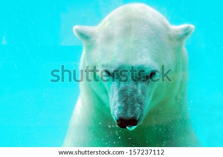 Stock Photo polar bear under water