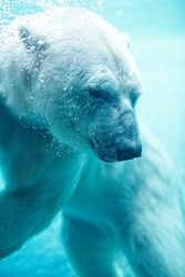 Polar Bear Underwater With Bubbles