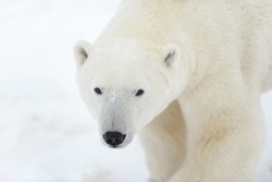 Polar Bear (Ursus maritimes) - Here's Looking At You