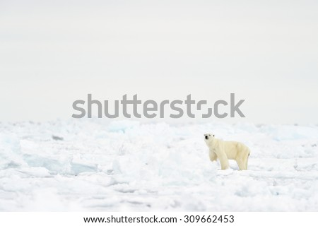 Polar Bear (Ursus maritimus) adult, walking on melting ice floe, floe edge, Baffin Bay, Nunavut, Canada.