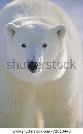 Polar Bear (Ursus maritimus) Churchill, Manitoba, Canada.