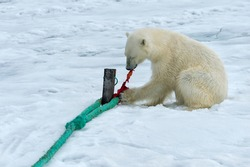 Polar Bear (Ursus maritimus) inspecting the rope and chewing on the pole of an expedition ship, Svalbard Archipelago, Norway