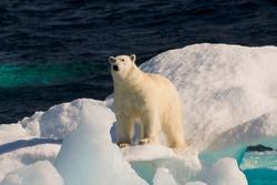 Polar Bear (ursus maritimus) on floating ice, Davis Strait, Labrador See, Labrador, Canada