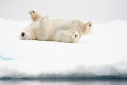 Polar bear (Ursus maritimus) rolling in the snow