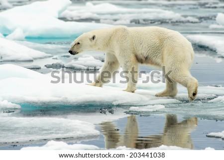 polar bear walking along ice floes in arctic ocean above svalbard norway