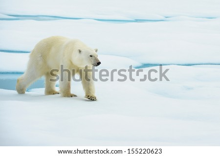 polar bear walking in ice floe in arctic sea near north pole