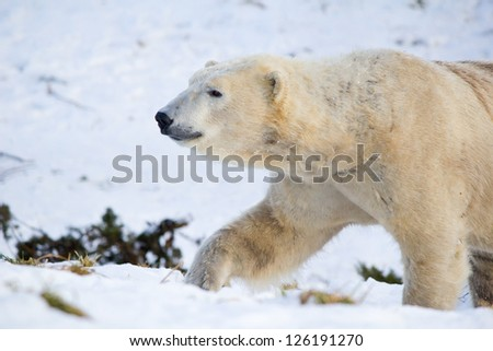 Polar Bear walking in snow