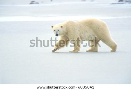 polar bear walking on ice pack of tundra near churchill canada
