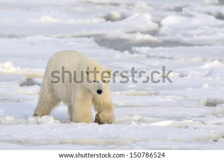 Polar bear walking on pack-ice.
