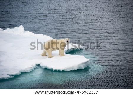 Polar bear walking on sea ice #496962337