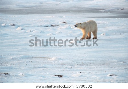 polar bear walking on snow covered tundra near churchill canada