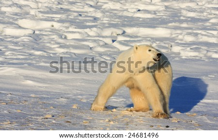 Polar Bear walking on the arctic snow near Hudson Bay, and reacting to a threat off camera