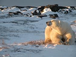 Polar Bear Watching Setting Sun, Churchill, Manitoba
