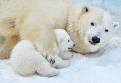 Polar bear with a bear cub.