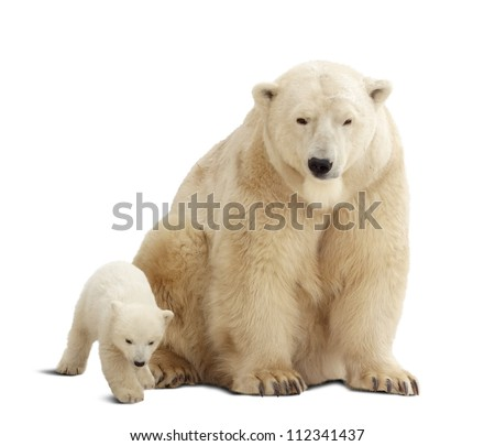 polar bear with baby. Isolated over white background with shade